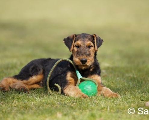 Airedale Terrier Welpen vom Haus Wirkus