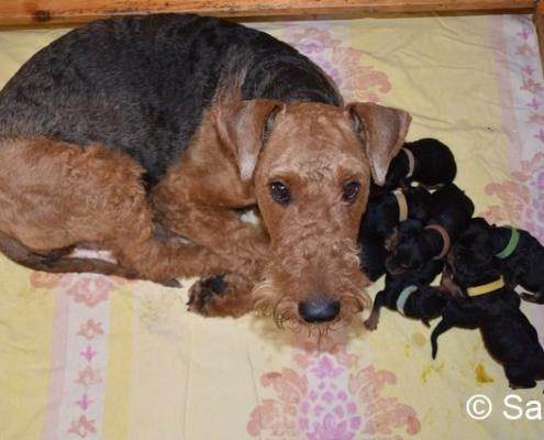 Airedale Terrier vom Haus Wirkus