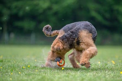 Airedale Terrier of King's Aire