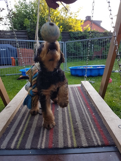 Airedale Terrier Welpe of King's Aire