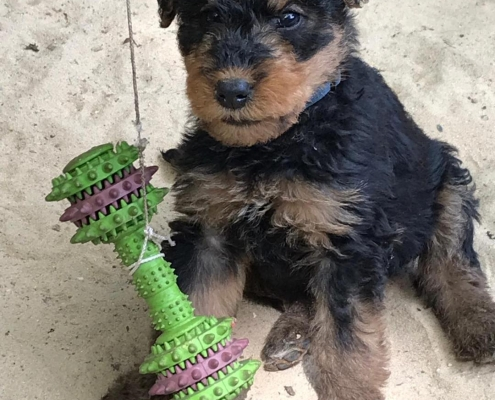 Airedale Terrier Welpen Black & Tan
