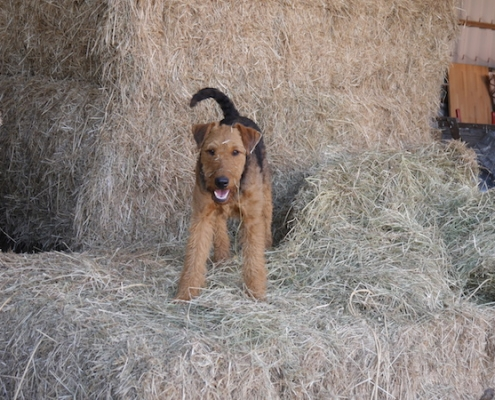 Airedale Terrier vom Lorbas