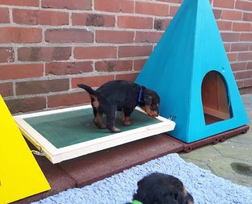 Airedale Terrier Welpen vom Lorbas