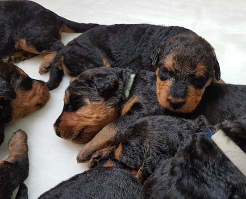 Airedale Terrier Welpen vom Lorbas