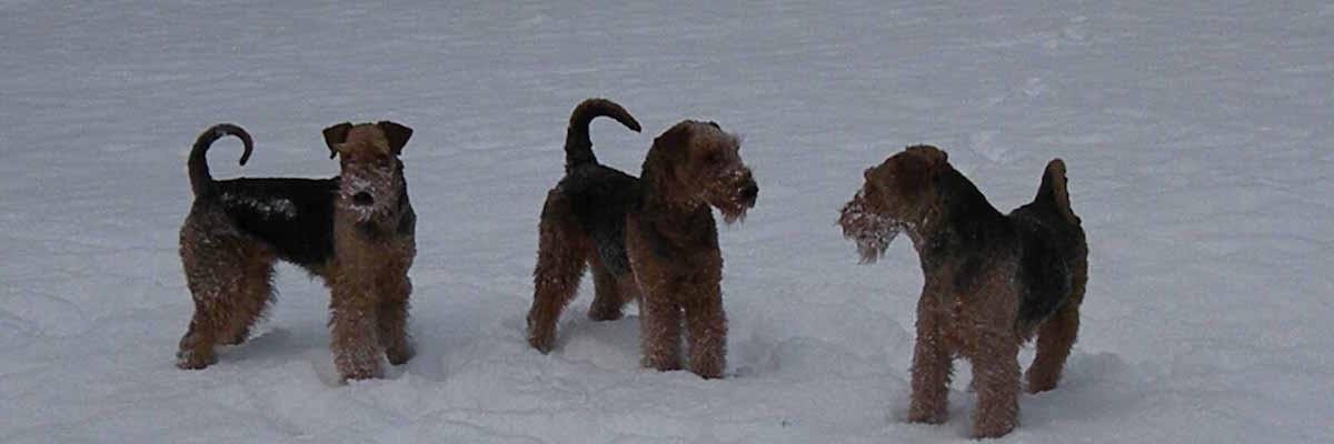 Airedale Terrier vom Sandbend