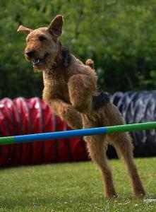 Airedale Terrier vom Treffenwald Hundesport