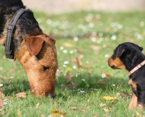 Airedale Terrier vom Treffenwald