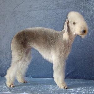 Bedlington Terrier vom Orkelsfelsen