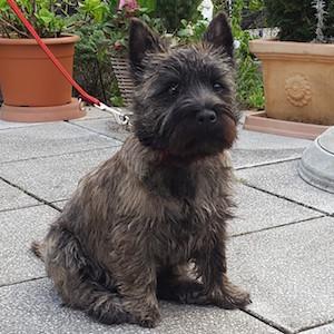 Cairn Terrier of Cairnsmore