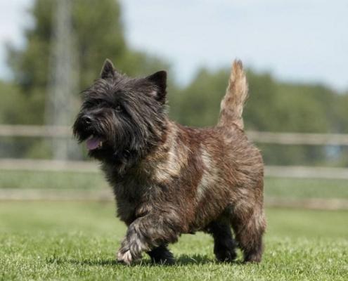 Cairn Terrier vom Kiepentraegerdorf