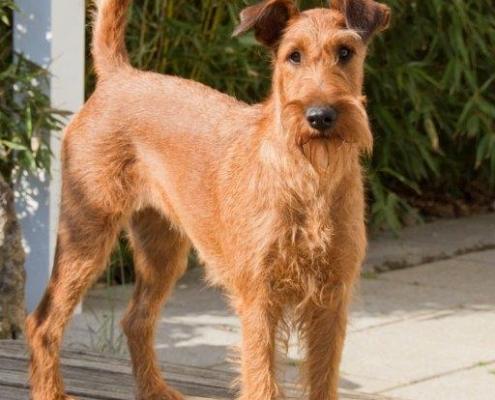 Irish Terrier aus der Dinkelaue