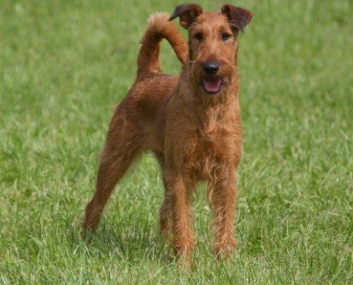 Irish Terrier aus der Dinkelaue
