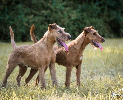 Irish Terrier vom Haseland