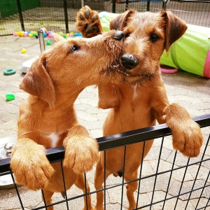 Irish Terrier Beautiful Endless Love