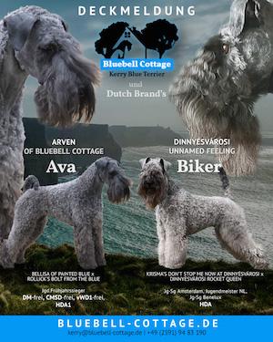Kerry Blue Terrier Welpen