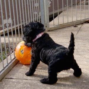 Terrier Welpen