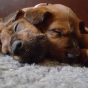 Irish Terrier Beautiful Endless Love