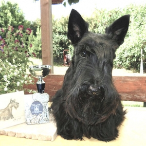 Scottish Terrier Caeldoch