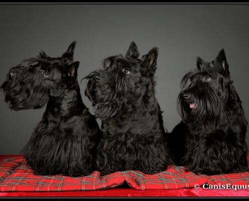 Scottish Terrier Caeldoch