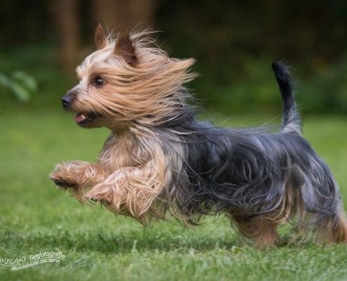 Australian Silky Terrier vom Grauen Strom