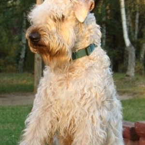 Wheaten Terrier von der Schönen Lausitz