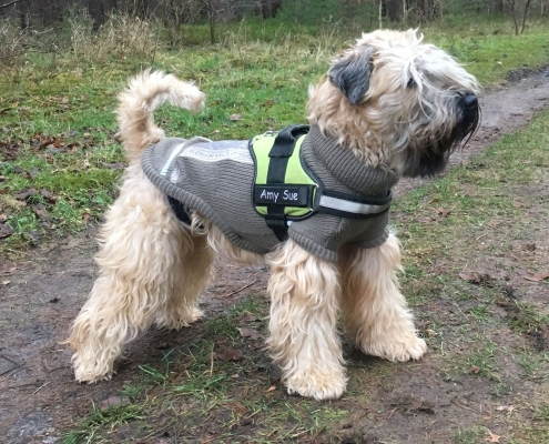 Irish Soft Coated Wheaten Terrier - Charming Wheaten