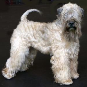 Wheaten Terrier Charming Wheaten