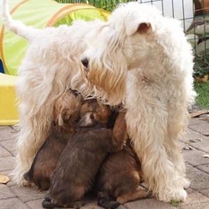 Irish Soft Coated Wheaten Terrier Ballyhara's