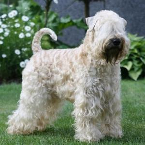 Irish Soft Coated Wheaten Terrier Wheaten My Love