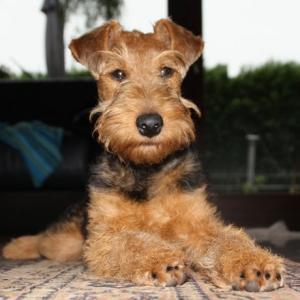 Pamirs Welsh Terrier