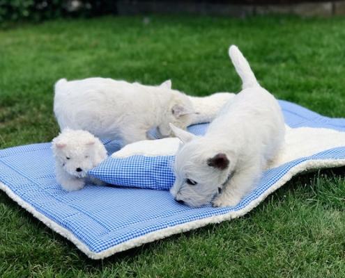 White Snowshoe's Welpen 9 Wochen alt