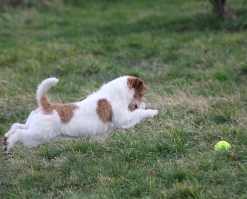 Sawasdee Jack Russell Terrier