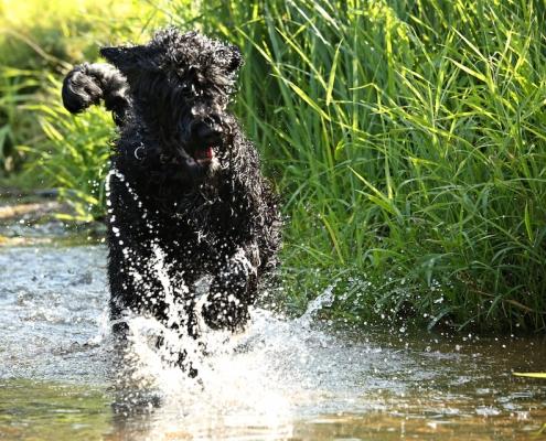 Russischer Schwarzer Terrier Black Sentinel