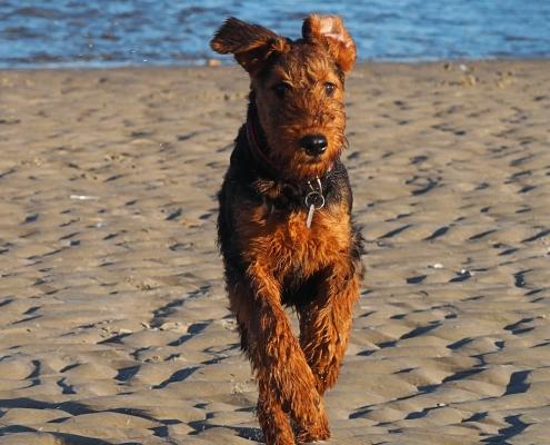Airedale-Terrier-von-Teddys-Ophelia