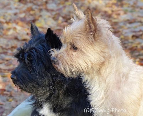 Cairn Terrier Snapshot's