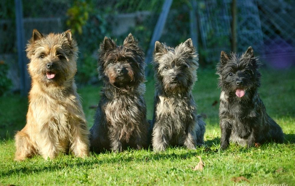 Cairn Terrier Harmony's