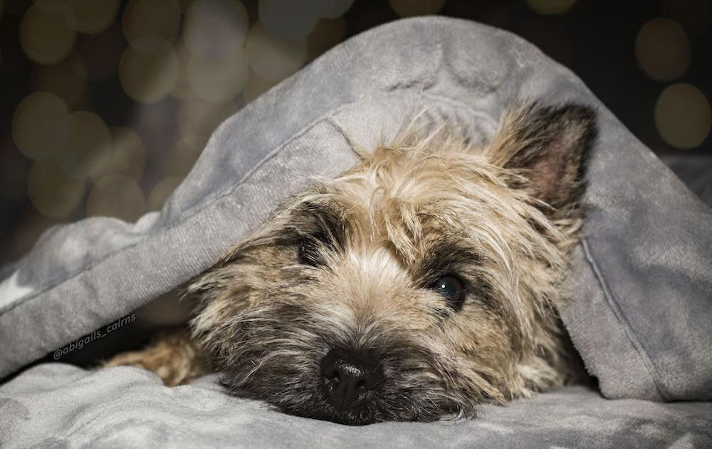 Cairn Terrier Abigail's Jessi