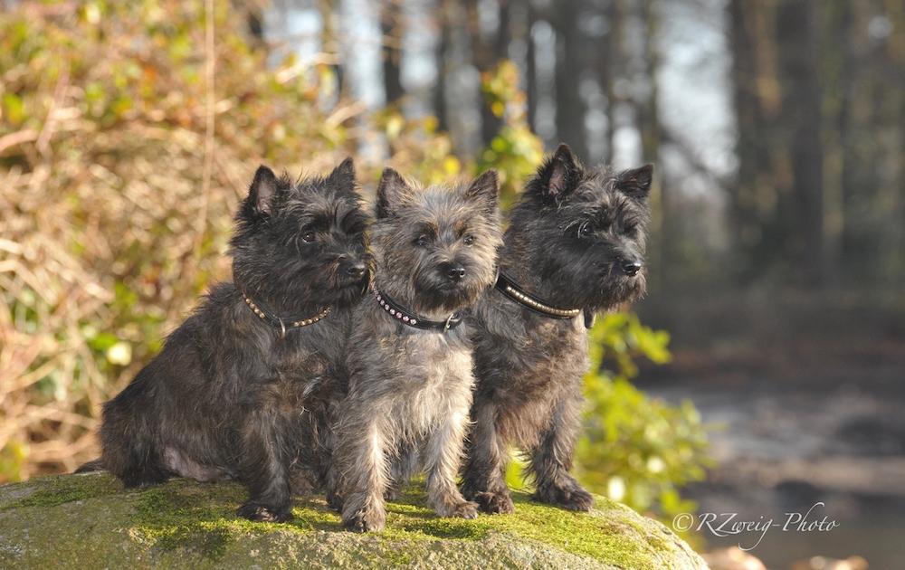 Cairn Terrier Teuto Devils