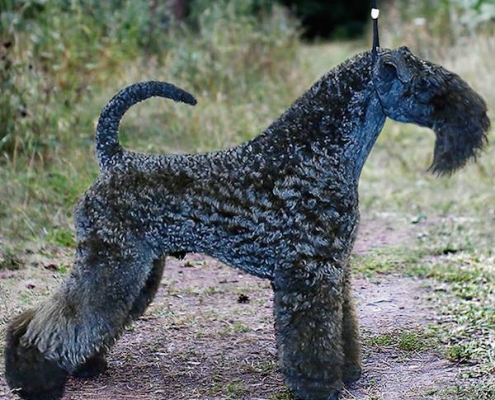 Kerry Blue Terrier Loughborough Suite Luthar for Nash Avgust