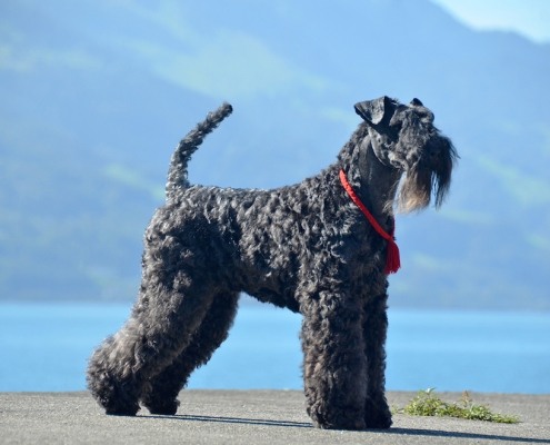 Kerry Blue Terrier Royal Winzent's