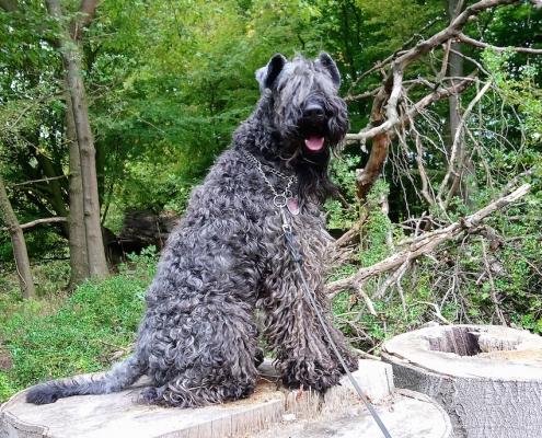 Kerry Blue Terrier Rüde Elay