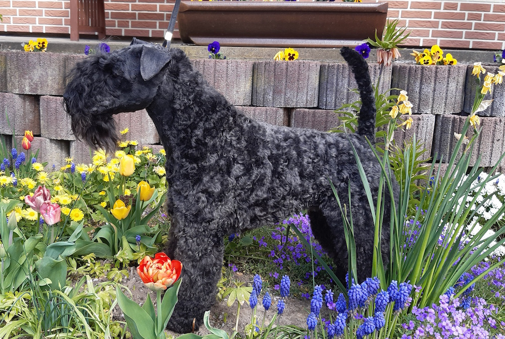 Kerry Blue Terrier Celtic Blue vom Klosterberg