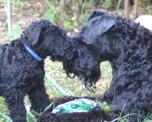 Kerry Blue Terrier Mutterliebe