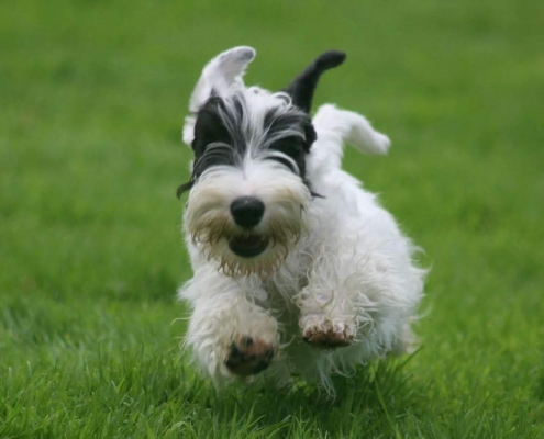 Sealyham Terrier in Aktion