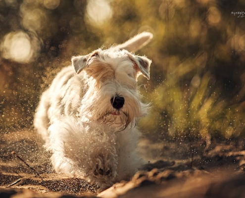 Sealyham Terrier Emma - Just a secret Amberwheat's