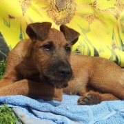 Irish Terrier Golden Cherish Forever