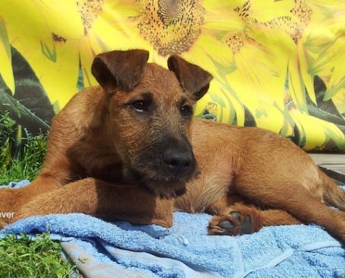 Irish Terrier Golden Cherish Forever