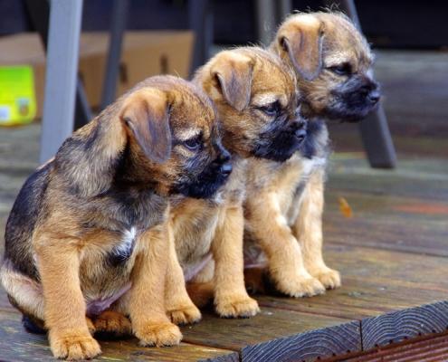 Border Terrier Welpen