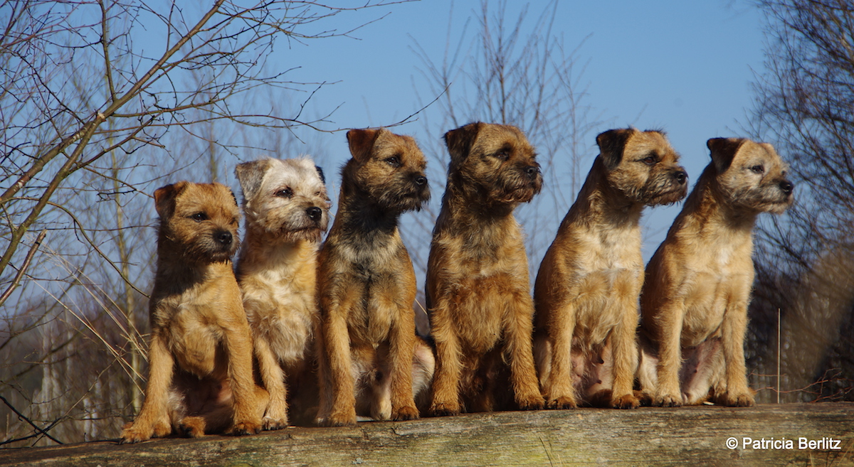 Border Terrier von der Borderranch