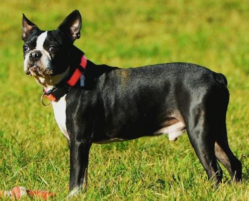 Boston Terrier Fynch